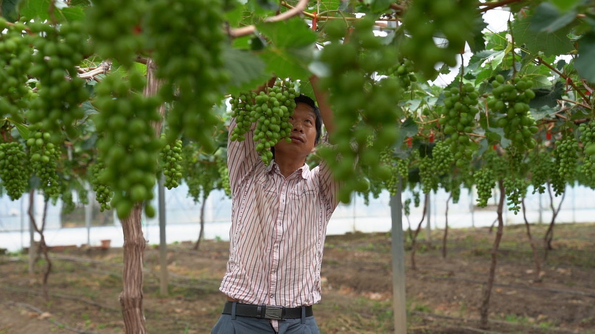 Disabled workers find opportunity at community grape farm in Nantong