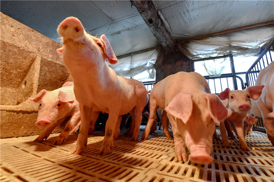 New swine virus unlikely to infect humans: Chinese CDC