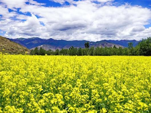 In pics: cole flower field in Tibet