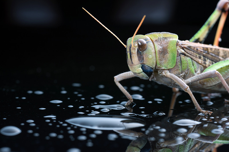 Yunnan prevents spread of locust swarms