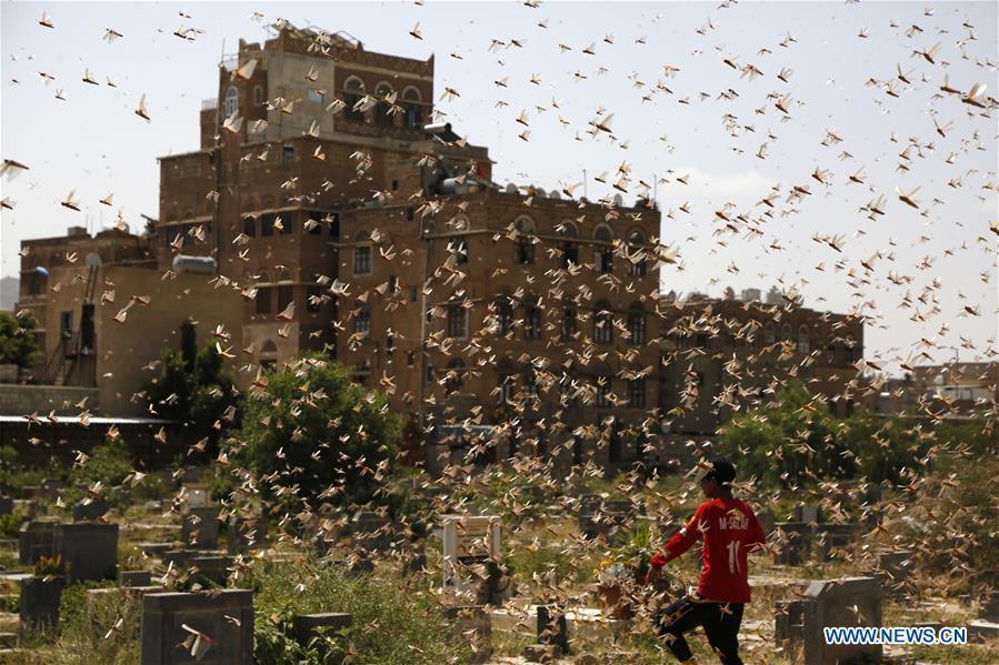 Desert locusts seen in Sanaa, Yemen