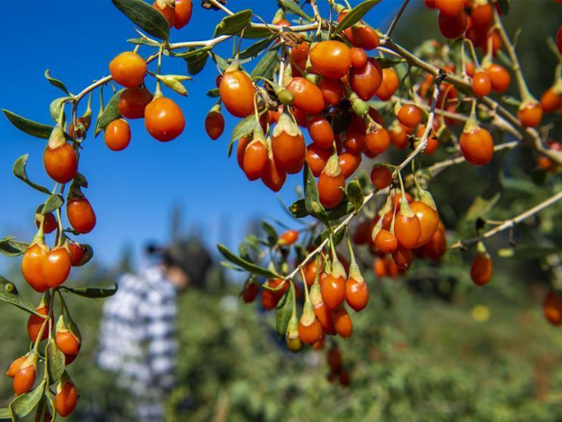 Villagers harvest goji berries in Xinjiang