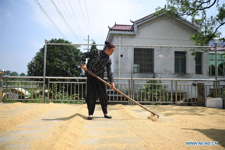Farmers harvest, dry grains in Yiyang City, C China's Hunan