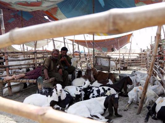 Pakistani traders wait for customers at livestock market ahead of Eid al-Adha