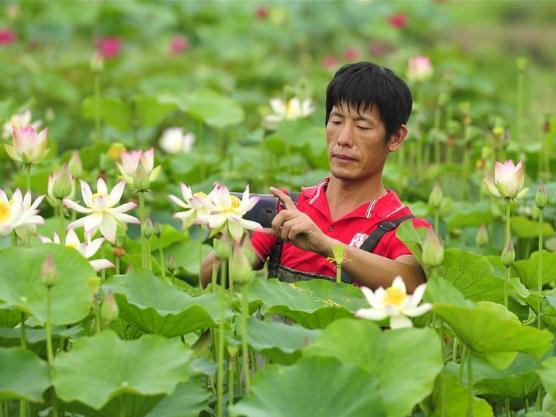 Farmer in Hebei cultivates new lotus varieties