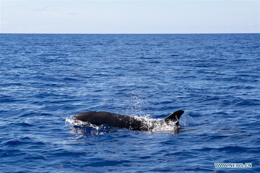 False killer whales seen in South China Sea