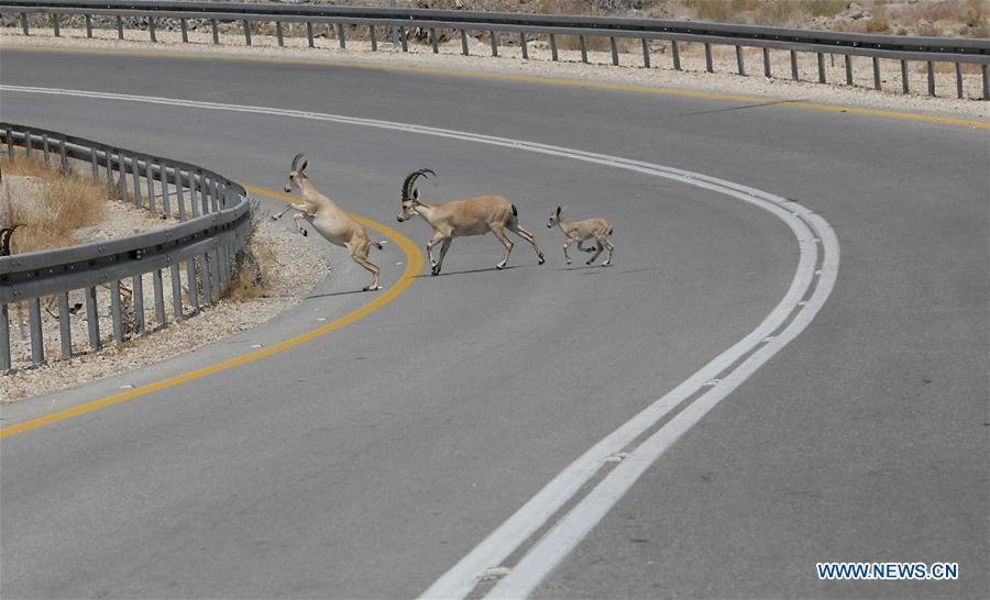 Nubian ibexes cross main road near Israeli village of Ein Gedi