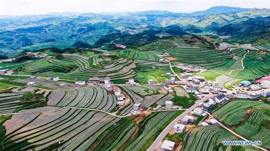 Weining develops vegetable cultivation industry to increase job opportunities for locals