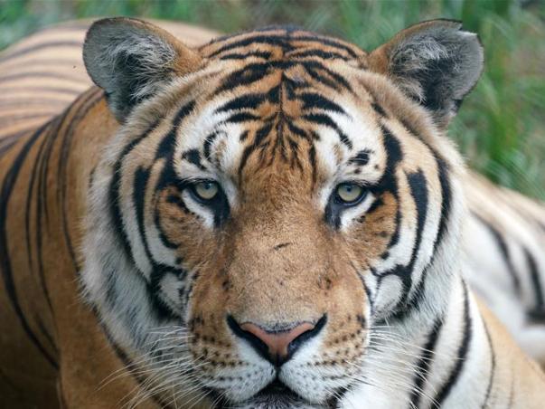 Int'l Tiger Day celebrated at Hengdaohezi Siberian Tiger Park