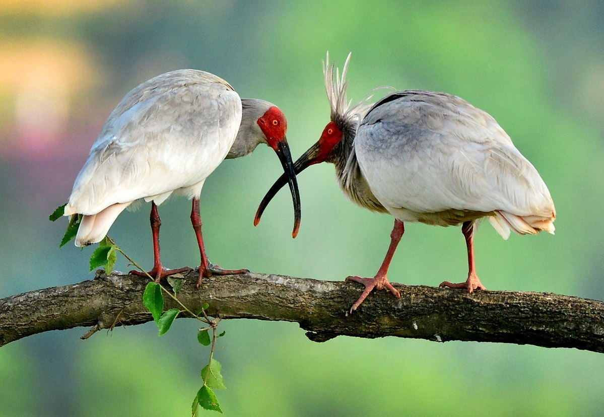 51 crested ibis released into wild