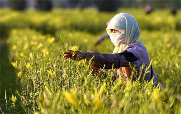 Daylily flowers nourish dry land, life