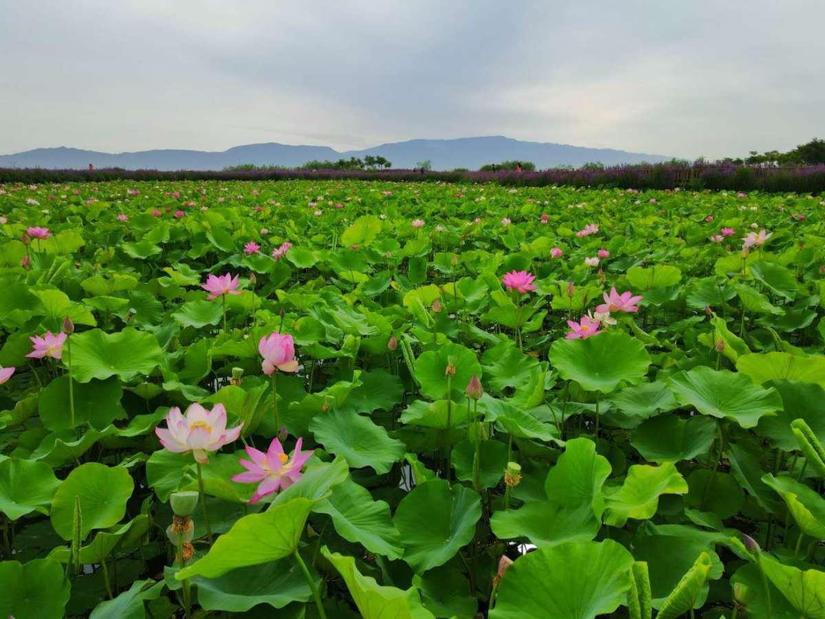 Lotus attracts visitors in Gansu