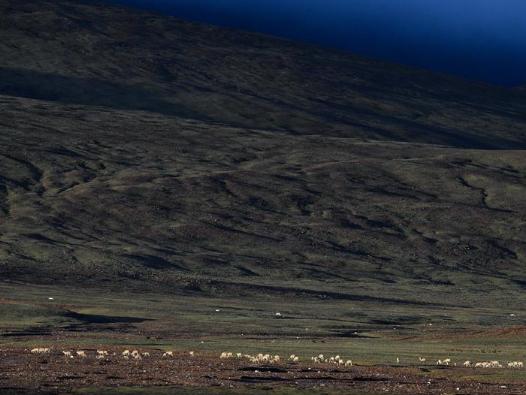 Tibetan antelopes near Zonag Lake in Hoh Xil, China's Qinghai