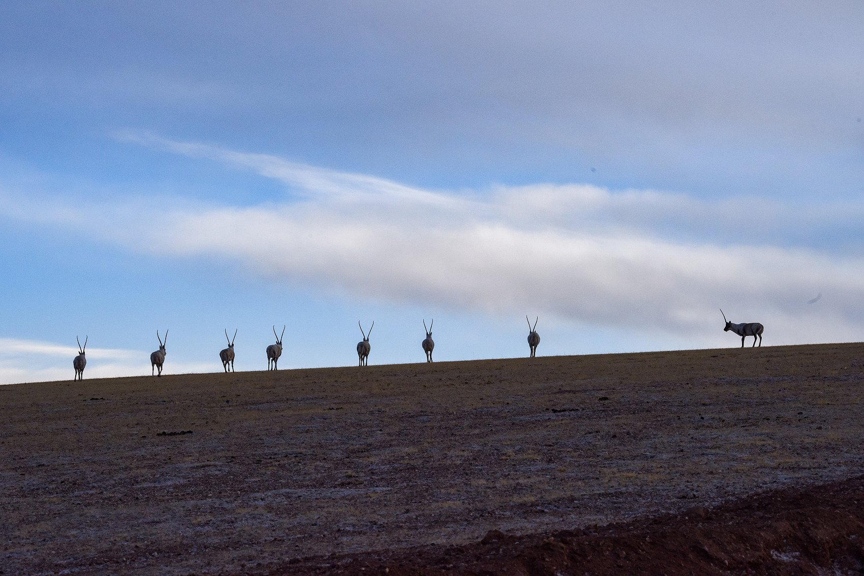 Monitoring system records migration of Tibetan antelopes