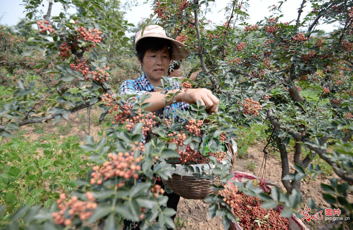 Cixian county, N China's Hebei Province, encourages local pepper planting