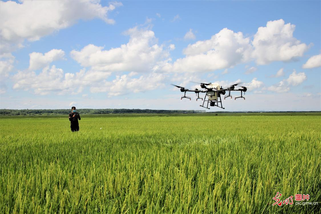 New tech enabled farmers to use drones to spray fertilizer on rice to prevent rice leaf blight