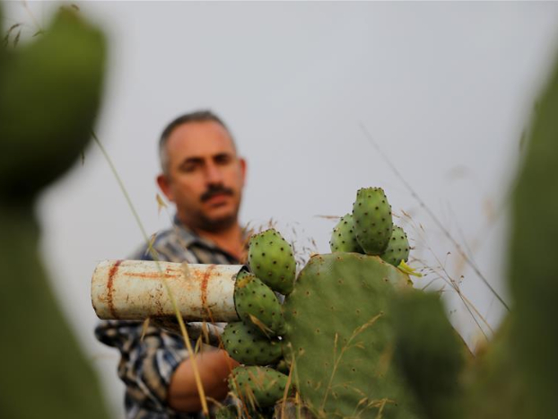 Farmer harvests prickly pears in West Bank city of Hebron