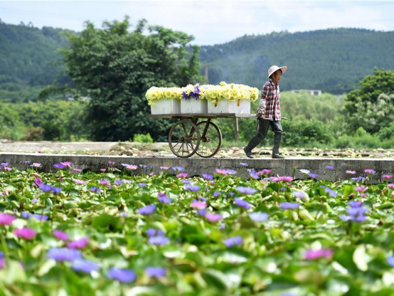 Villagers harvest lotus flowers in Guangxi