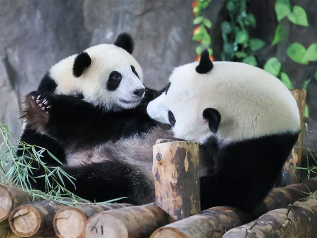 """Shanghai Wild Animal Park starts name-collecting campaign for baby of giant panda """"Jiajia"""""""