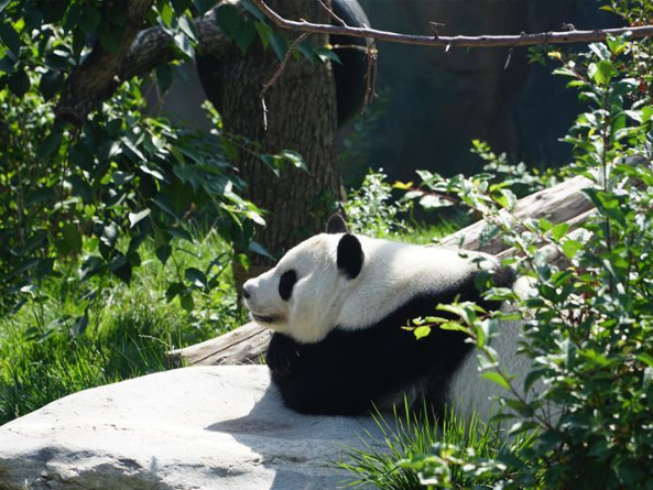 Giant panda Shuangxin celebrates 9th birthday in Xining, Qinghai