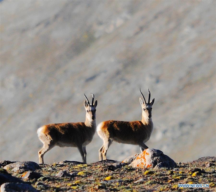 Tibetan gazelles seen at Haltent grassland in Gansu