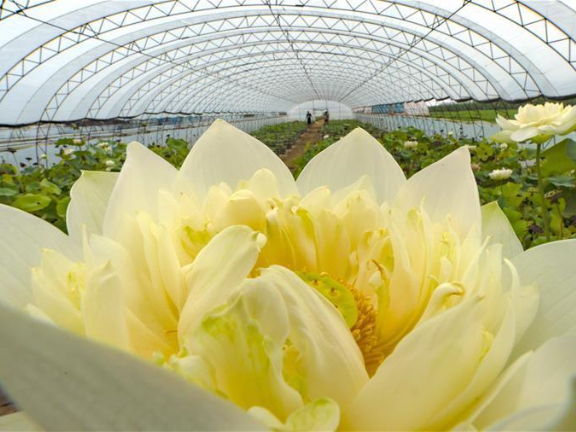 Flower industry helps increase incomes for villagers in Hebei