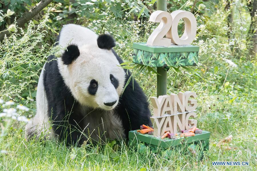 Giant panda Yang Yang's 20th birthday celebrated in Austria