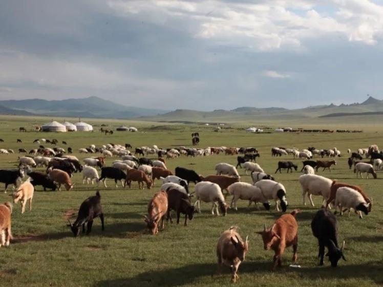 Mongolia officially starts donating 30,000 sheep to China