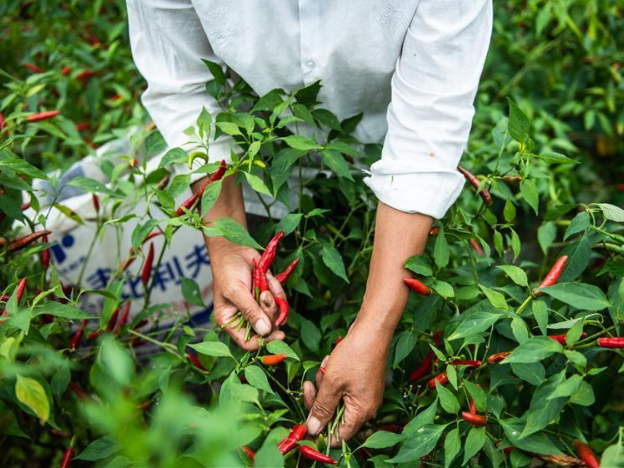 Chili industry helps farmers shake off poverty in Guizhou's mountainous areas