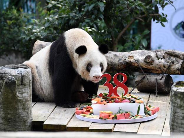 World's oldest captive giant panda celebrates 38th birthday