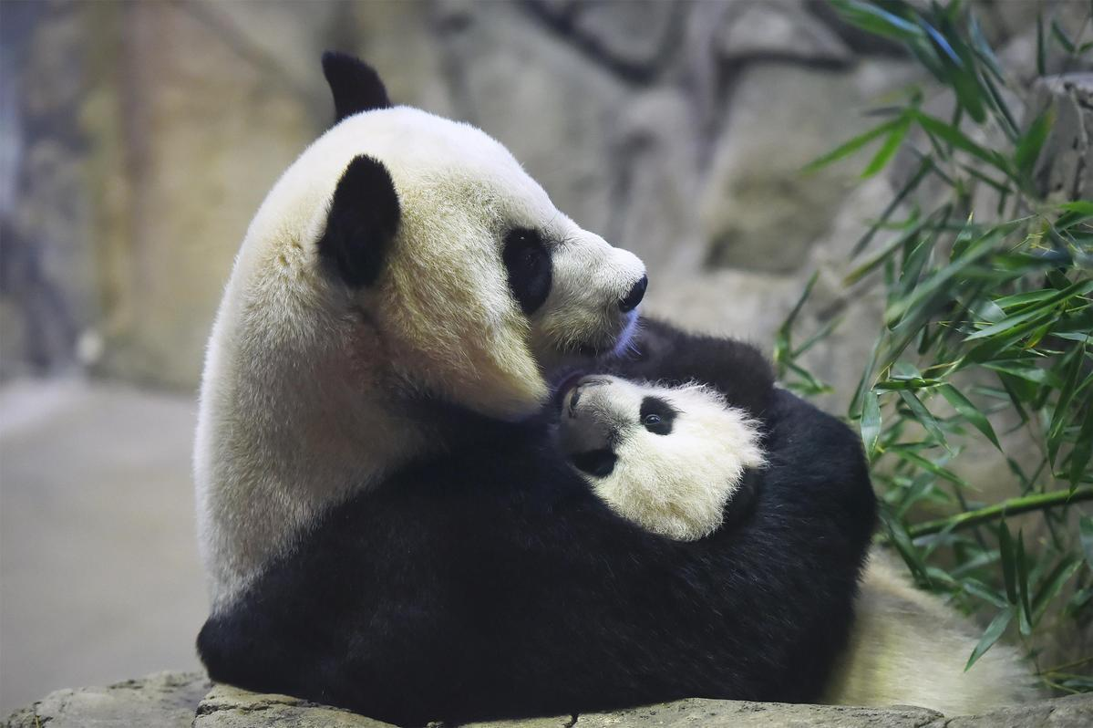 Paws crossed for panda birth at Smithsonian zoo