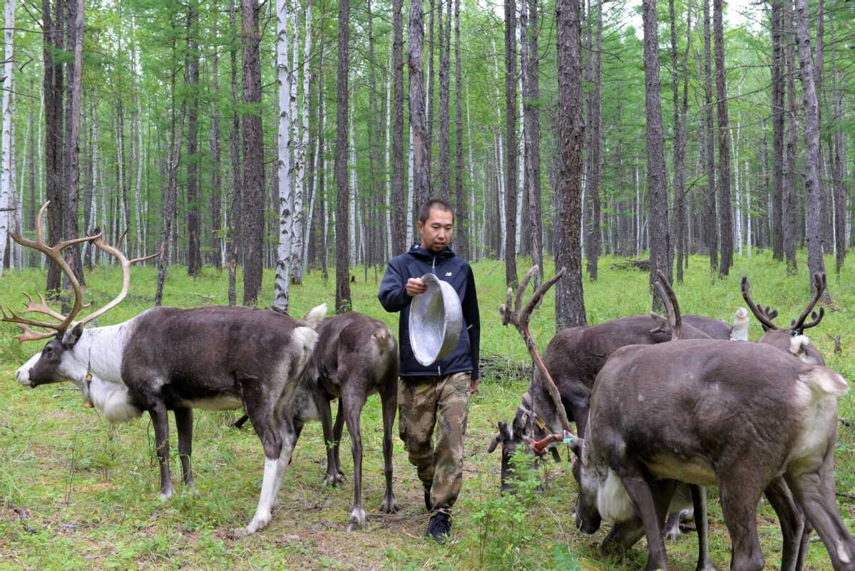 Ecological development revives, preserves Chinese reindeer tribe