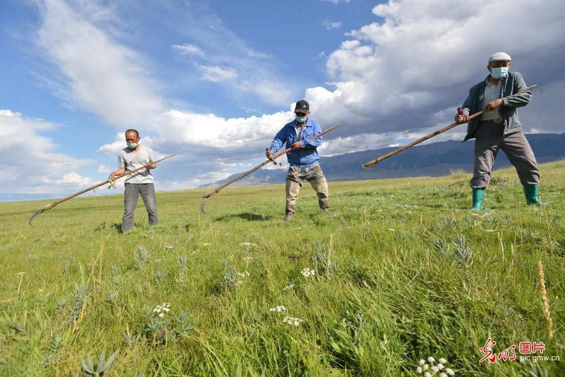 Herdsmen harvesting forage grass in NW China's Xinjiang Province