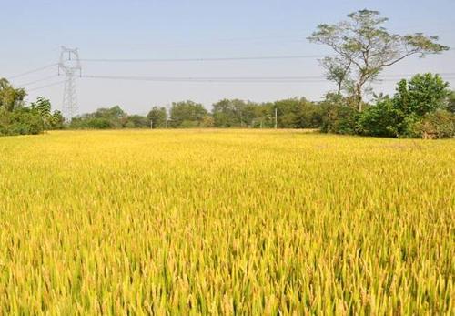China early season rice output up 3.9 percent