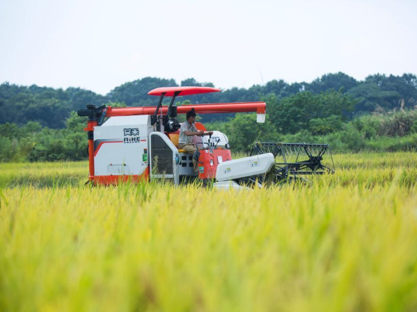 Paddy rice harvested in Duchang, E China's Jiangxi