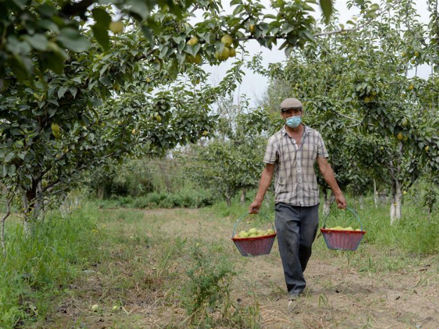 Pear planting industry prosperous in Xinjiang