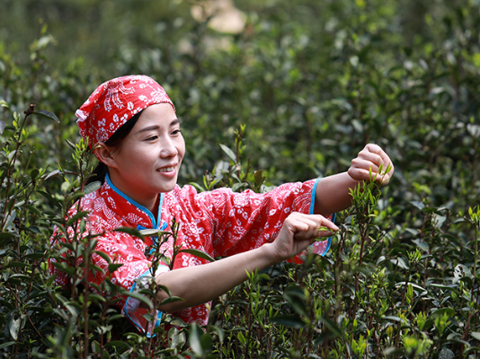 A tea town infused with prosperity