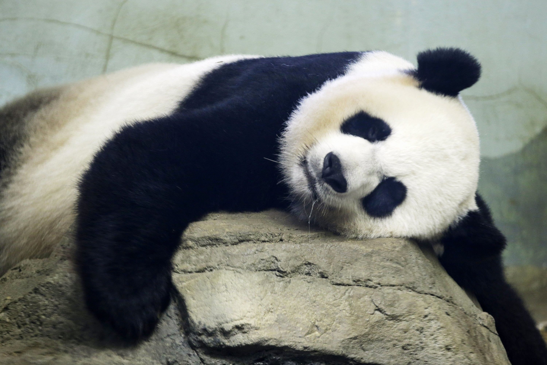 Birth of panda cub brings 'joyous news' to the National Zoo