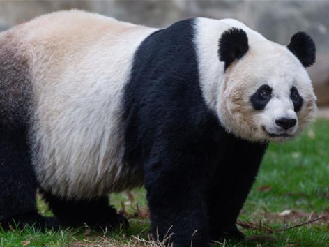 Giant panda Mei Xiang gives birth to cub at US zoo