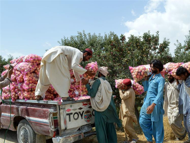 Workers harvest apples on outskirts of Quetta, Pakistan