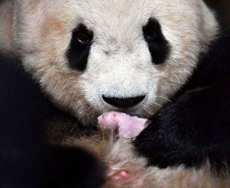 Captive panda cub born in Northwest China