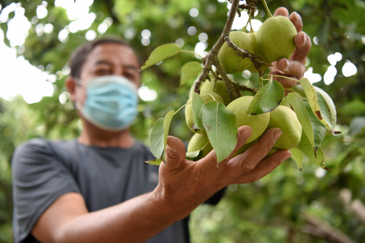 Signature pear brand of China's Xinjiang reaps from growing market
