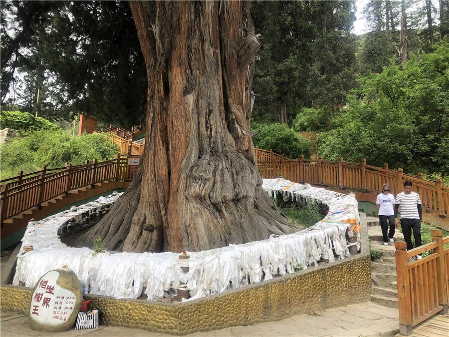 Juniper trees bring cash to Tibetan villager