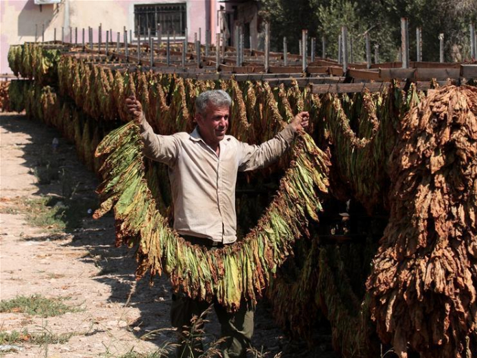 Palestinian farmer dries tabacco leaves in Yaabed village near West Bank city of Jenin