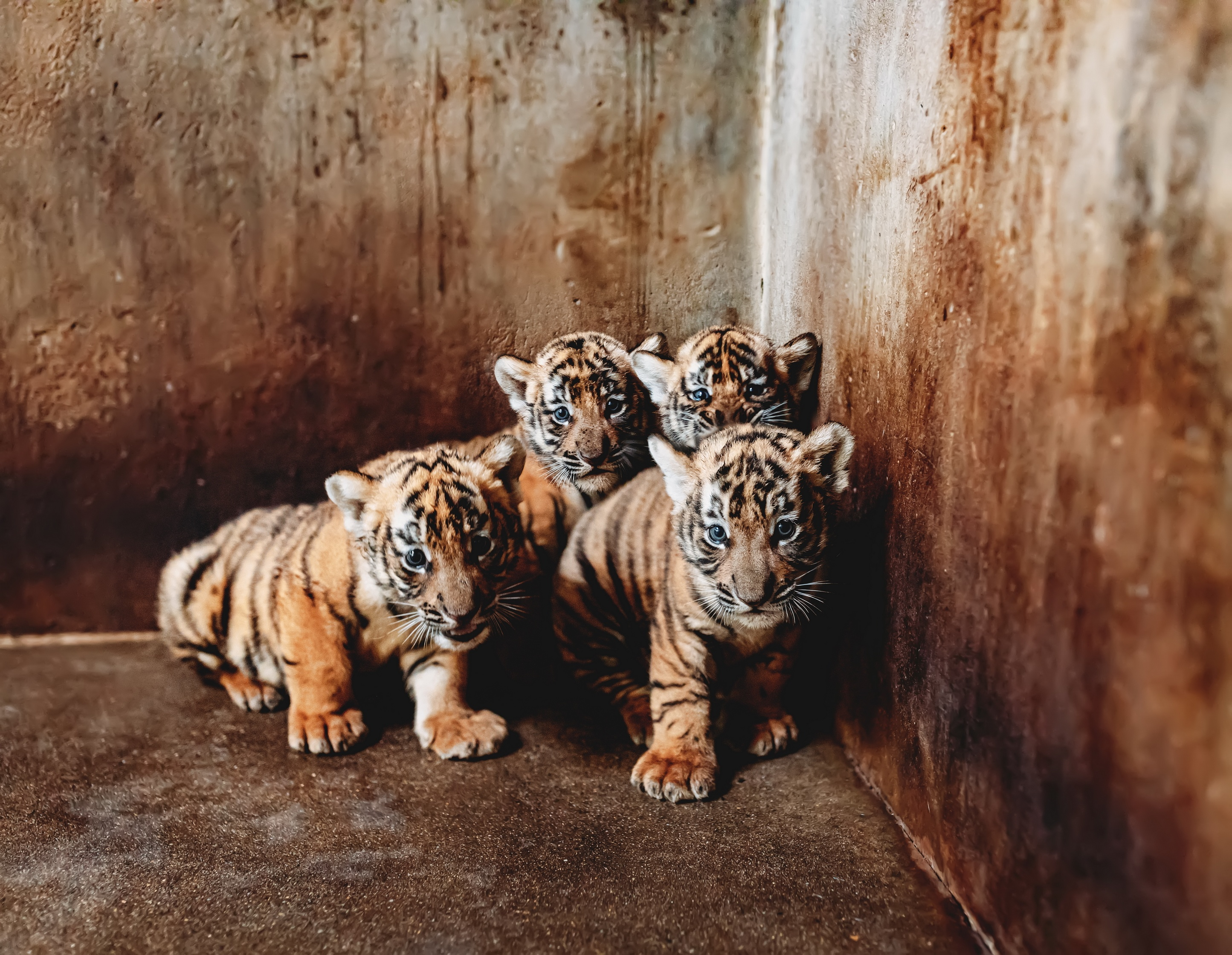 Shanghai Zoo seeks names for four tiger cubs