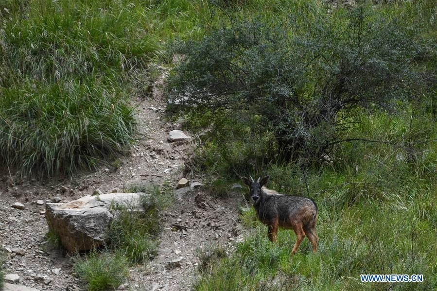 Chinese serow seen at forest farm in Qinghai