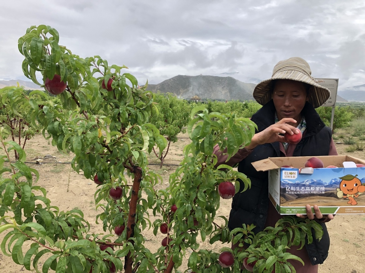 Tibet orchard contributes to livelihood and the ecology