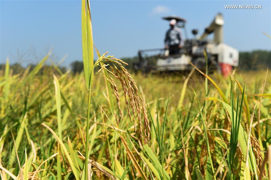 Paddy fields enter harvest season in E China's Anhui