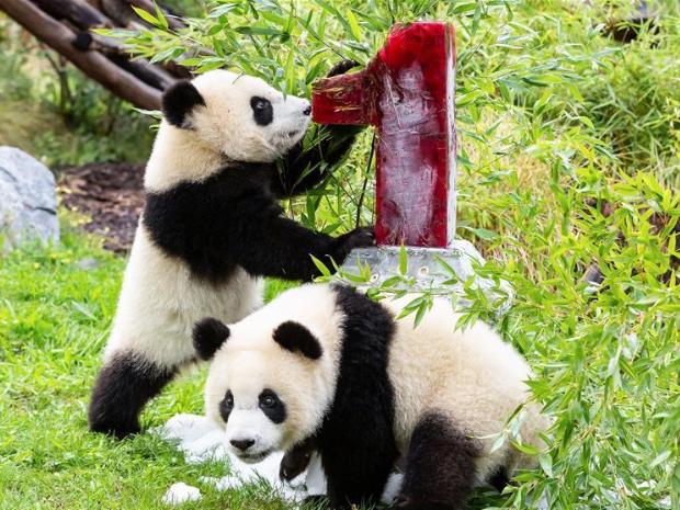 Giant panda twins' first birthday at Berlin Zoo