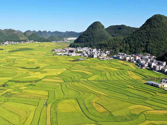 Guizhou paddy fields ready for harvest
